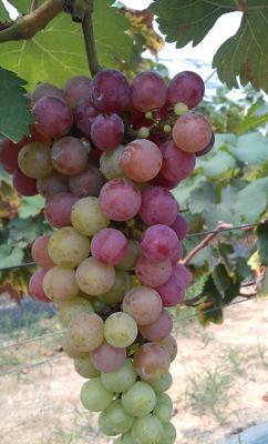 吉林省长春市二道区巨峰葡萄 1.5- 2斤 5%以下 1次果