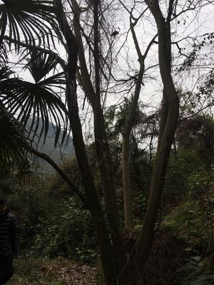 重庆巴南区丛生朴树