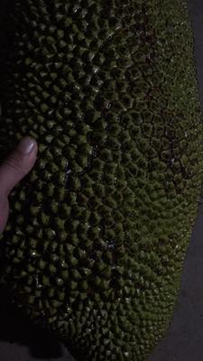 海南省琼海市琼海市海南菠萝蜜 15斤以上