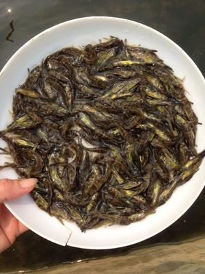 广东省广州市花都区杂交黄骨鱼 0.05公斤 人工殖养