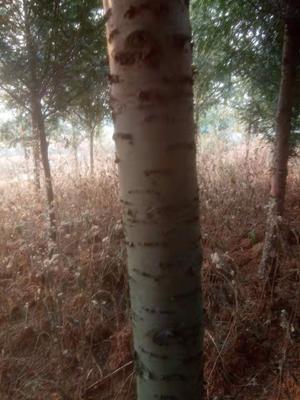云南省昆明市石林彝族自治县南方红豆杉 3.5米~5米