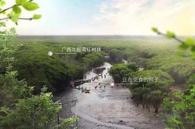 广西壮族自治区北海市合浦县海鸭蛋 箱装 食用