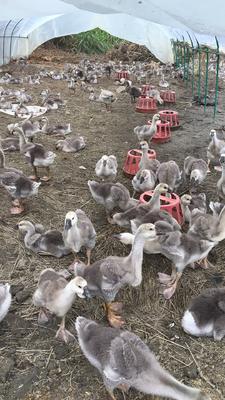 福建省龙岩市永定县狮头鹅 统货 12斤以上 全散养