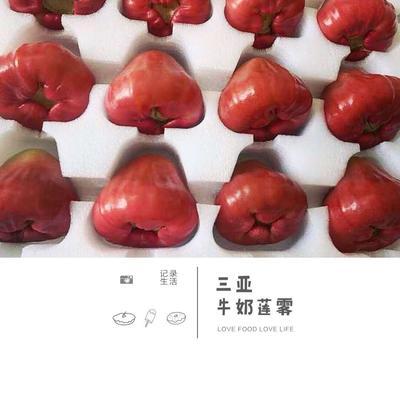 海南省海口市龙华区有机牛奶莲雾 7-9cm