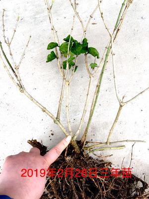 广西壮族自治区南宁市横县白色茉莉 三年茉莉花苗大量上市