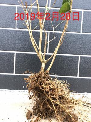 广西壮族自治区南宁市横县白色茉莉 三年茉莉花苗大量出售
