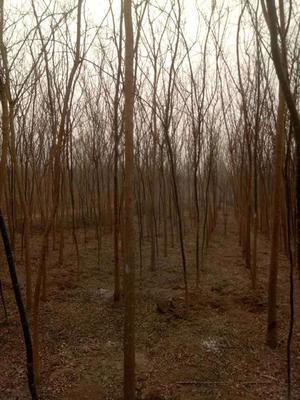 河北省沧州市献县老式白蜡 2~2.5米