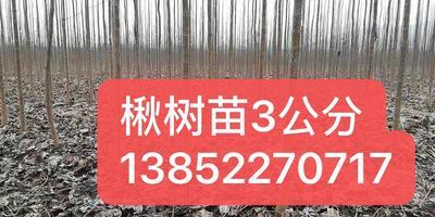 江苏省宿迁市沭阳县楸树 米径3公分基地直销