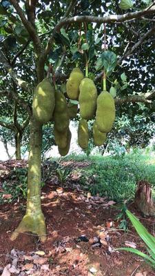 海南省定安县定安县海南菠萝蜜 15斤以上