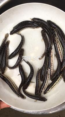 广东省广州市花都区乌鳢 人工养殖 0.5公斤以下