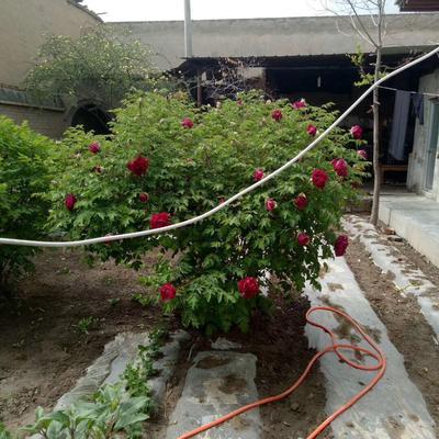 北京朝阳区紫斑牡丹 2.5~3米 14~16cm 10~12cm