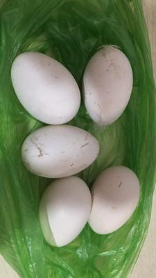 天津津南区鲜鹅蛋 食用 散装
