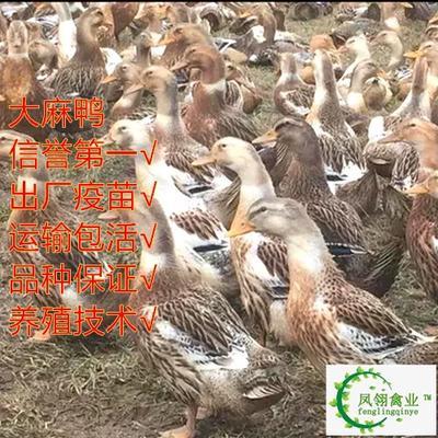 广西壮族自治区防城港市东兴市麻鸭苗