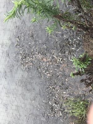 浙江省湖州市南浔区台湾泥鳅 15cm以上 人工养殖 35尾/公斤