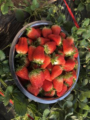 山东省济南市历城区有机草莓 30克以上