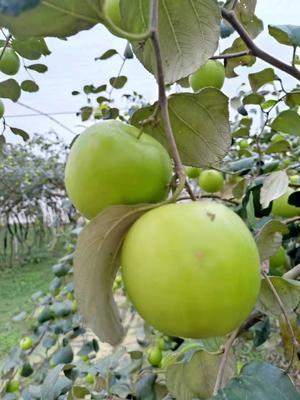 广西壮族自治区南宁市西乡塘区苹果枣 直口 50g以上