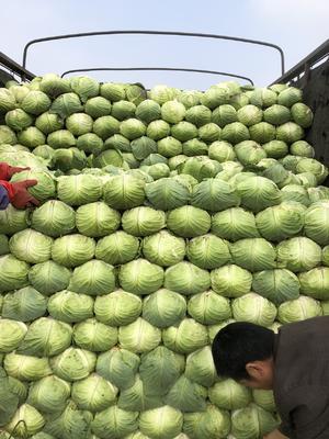 湖南省岳阳市君山区绿甘蓝 2.0~2.5斤