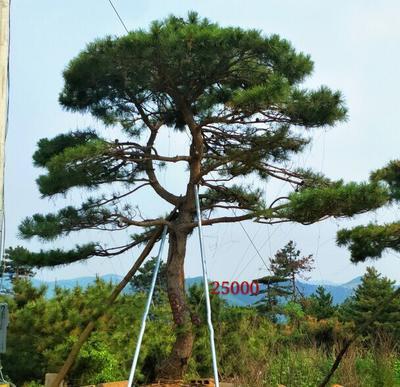 山东省临沂市莒南县造型松树