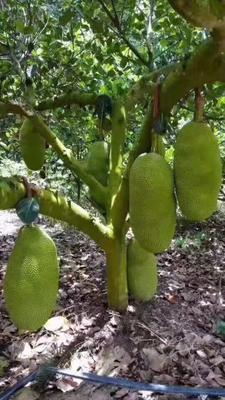 湖南省衡阳市蒸湘区海南菠萝蜜 15斤以上