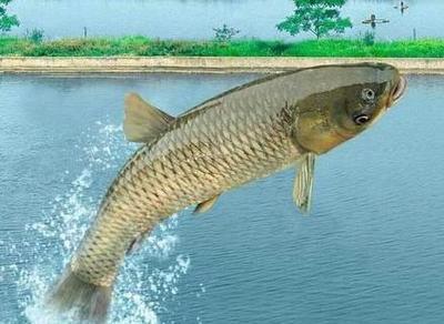 广西壮族自治区桂林市七星区池塘草鱼 1.5-3公斤 人工养殖