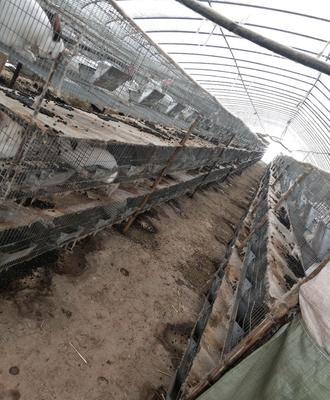 广西壮族自治区桂林市象山区草兔 5斤以上 肉兔大量供应品质保证