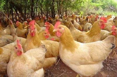 广西壮族自治区贵港市平南县鸡肉类 简加工