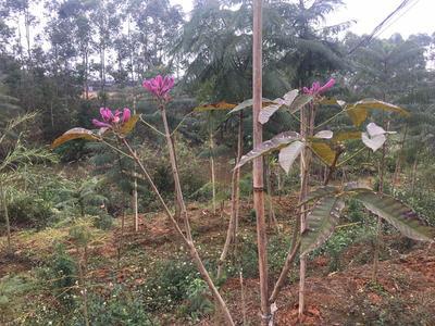 广西壮族自治区玉林市玉州区紫花风铃木