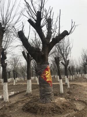 山东省菏泽市郓城县皂角树 20公分皂角至70