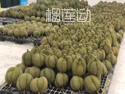 广西壮族自治区崇左市凭祥市甲仑榴莲 8.0公斤 80-90出肉