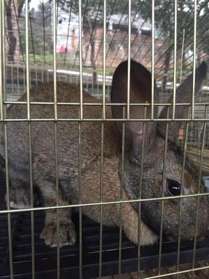 四川省南充市阆中市杂交野兔 3-5斤