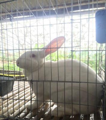 广西壮族自治区桂林市象山区獭兔种兔 5斤以上 品质保证二十年桂林
