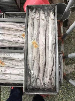 广东省汕尾市城区南海带鱼 野生 0.5公斤以下