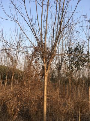 江苏省苏州市张家港市速生白蜡 5米以上