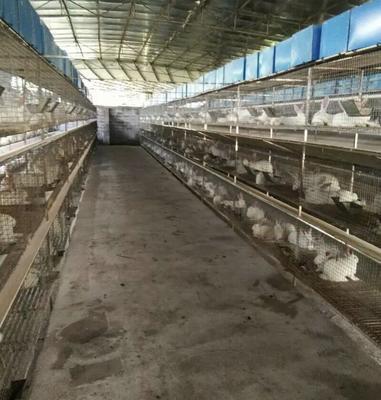 广西壮族自治区桂林市象山区兔肉类 新鲜 净重5斤以上,大企业