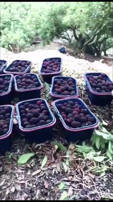 福建省漳州市龙海市浮宫杨梅 3 - 4cm