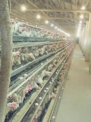 湖南省常德市鼎城区白条鸡 新鲜 淘汰蛋鸡