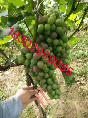 陕西省西安市户县户太八号 2斤以上 5%以下 1次果