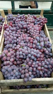 河北省邢台市柏乡县巨峰葡萄 2斤以上 5%以下 1次果