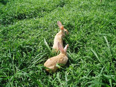 福建省福州市永泰县野兔 5斤以上