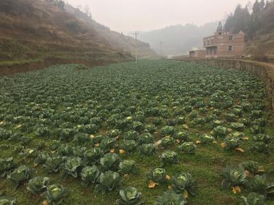 贵州省毕节市纳雍县扁球甘蓝 1.0~1.5斤