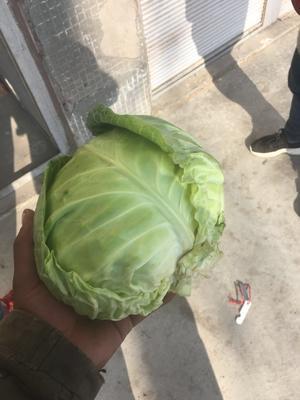 辽宁省沈阳市浑南区绿甘蓝 2.0~2.5斤