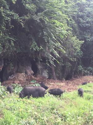 广西壮族自治区贺州市平桂区藏猪 60斤以上