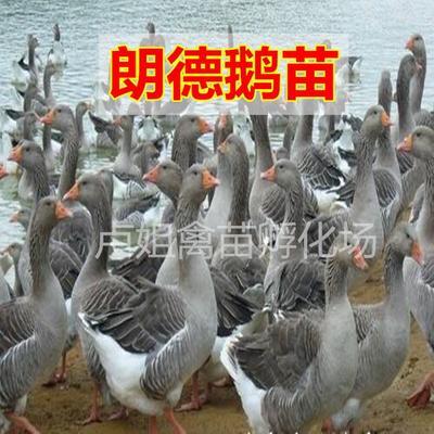广西壮族自治区南宁市西乡塘区郎德鹅苗