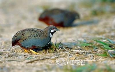 广东省茂名市化州市芦丁鸡 2斤以下 统货