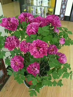 河南省洛阳市老城区观赏牡丹 0.5米以下 6~8cm 6~8cm 又是一年赏花季
