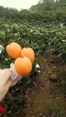 福建省漳州市漳浦县解放钟枇杷 1两以上