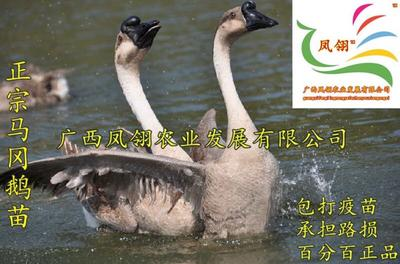 广西壮族自治区南宁市江南区马岗鹅苗