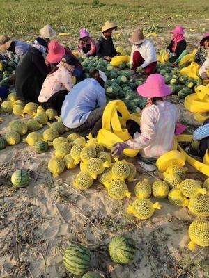广东省东莞市东莞市特小凤西瓜 2茬以上 8成熟 无籽 2斤打底