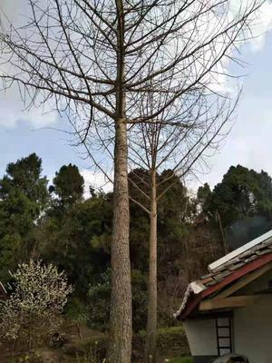四川省广元市昭化区白果树