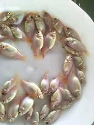 广东省广州市白云区红罗非鱼
